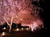 真鶴のしだれ桜-夜
